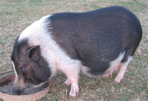 potbelly pig pin miniature potbelly pigs on pinterest