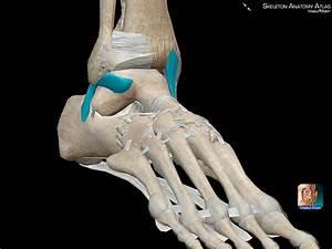 Fisioterapeuta Luís Miguel Brazão Gouveia: Common Ligament ...  Calcaneofibular