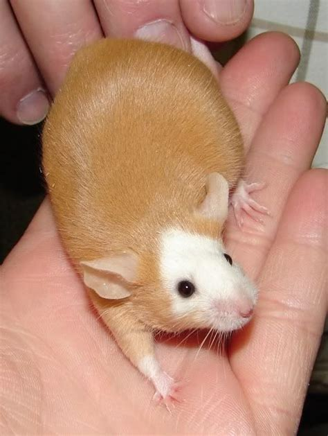 show me pictures of mice best 25 dumbo rat ideas on pinterest rat pet rats and cute rats