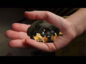 The tiniest dogs in the world - small dog breeds - YouTube