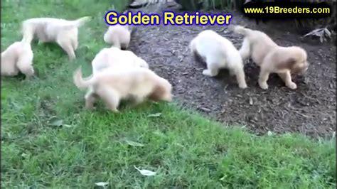 Welpen Golden Retriever Nrw