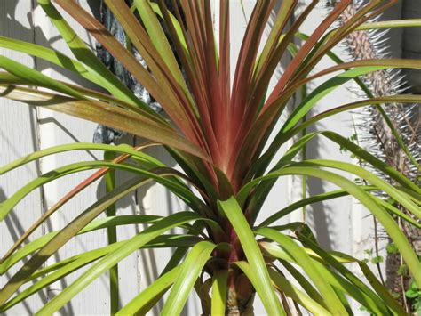 beaucarnea guatemalensis curly nolina red ponytail palm