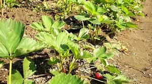 Erdbeeren Wann Pflanzen : erdbeeren im sommer pflanzen hochzucht jungpflanzen ~ Watch28wear.com Haus und Dekorationen
