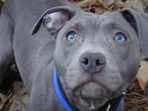 grey pitbull amstaff puppy | DREAM PETS: Bengal, Serval ...