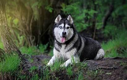Husky Cool Wallpapers Dog Siberian Unique Wallpapersafari