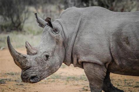 African Animals Rhino