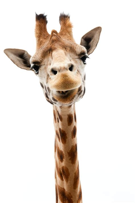 research reveals    separate species  giraffes