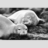 Mediterranean Monk Seal Food Web | 600 x 400 jpeg 180kB