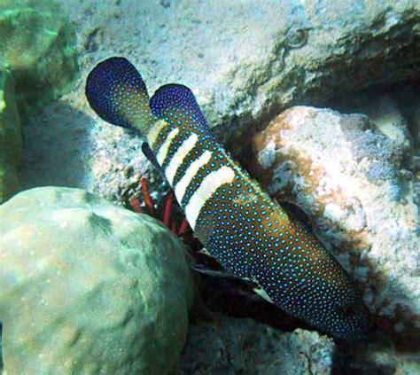 peacock grouper roi hawaii argus cephalopholis fish hind peg bethany