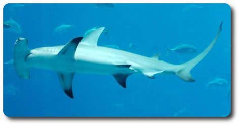 learn   cool hammerhead shark facts  shark sider