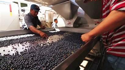 Wine Grapes Winemaking Into Sorted Vineyard Carefully
