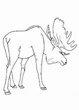 Moose Coloring Pages Animal Printable Preschool Drawing Deer Track Template Realistic Cartoon Fresh Colouring Sketch Animals Comments Alaska Sheets Head sketch template