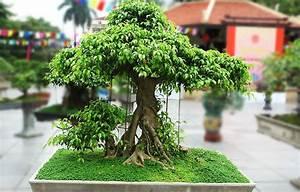Ficus Bonsai Schneiden : die besten 25 bonsai ficus ideen auf pinterest bonsai bonsai garten und japanischer bonsaibaum ~ Indierocktalk.com Haus und Dekorationen