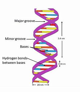 Explain The Double Helix Structure Of Dna With A Labeled