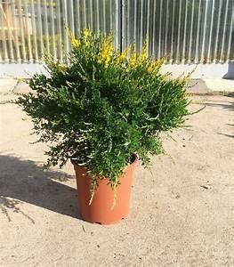 Pianta Cytisus Racemosus In Vaso