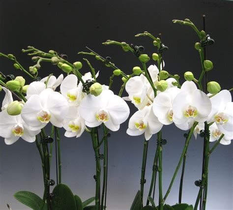 Orchidee Come Curarle In Appartamento by Piante Orchidee Piante Di Orchidee Orchidee Orchidee