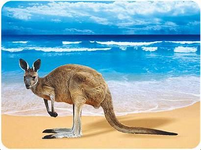 Kangaroo 2589