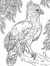 Coloring Harpy Eagle sketch template