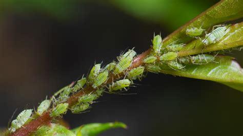 Blattläuse Erkennen Und Bekämpfen