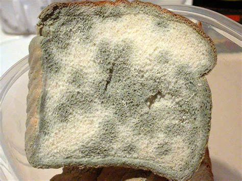 how dangerous is eating moldy bread moldy bread