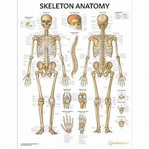 Skeleton Anatomy Chart