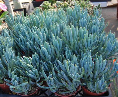senecio succulent succulents senecios