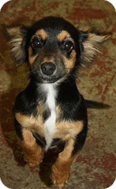 sydney adopted dog huntsville al dachshund