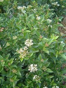 Plantes à Feuillage Persistant : p pini re de quievrechain vente de plantes arbustes 59 ~ Premium-room.com Idées de Décoration