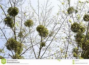 Mistletoe stock image. Image of freeloader, growth ...