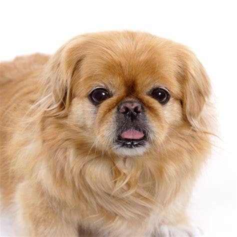 pekingnese breed profile  information vetwest animal
