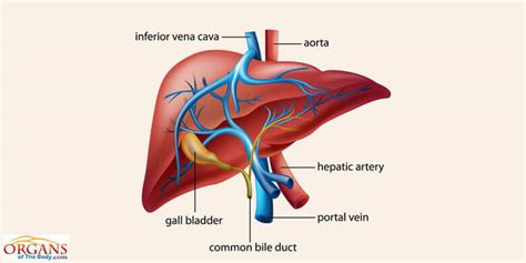 Human Liver Anatomy, Function, Location, Parts & Diseases