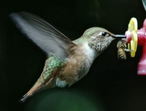 journey south hummingbird migration update
