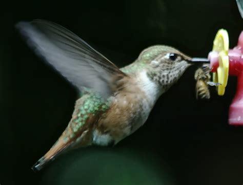 journey south hummingbird migration update september 2 2011