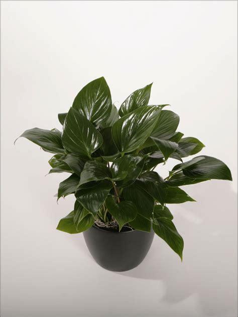 Homalomena - Plantopia - Interior Plant Service