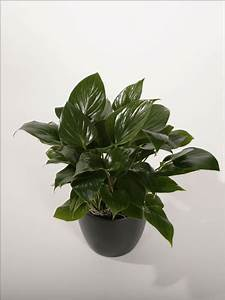 Homalomena - Plantopia