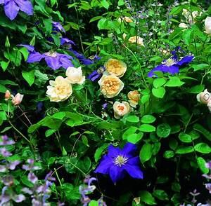 Welche Pflanzen Passen Zu Rosen : gartentipps wer kann gut mit wem im beet welt ~ Lizthompson.info Haus und Dekorationen