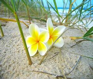 plumeria on sand - Flowers & Nature Background Wallpapers ...