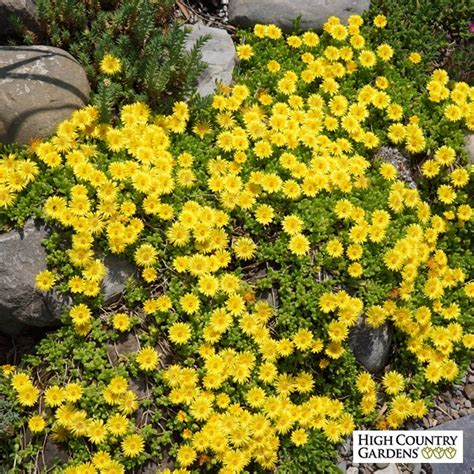 hardy yellow plant delosperma nubiginum high