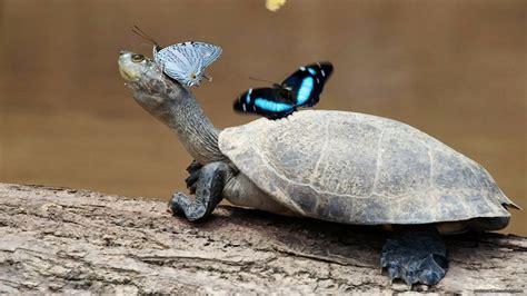 Hd Wallpapers Animals 1366x768 - animals turtles butterflies 1366x768 wallpaper animals