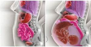 How A Woman U0026 39 S Internal Organs Move During Pregnancy Shown