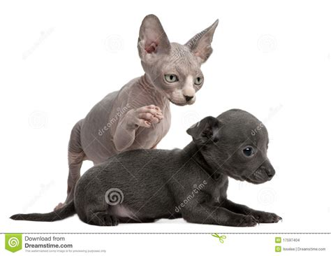 Chihuahua Puppy Interacting Witha Sphynx Kitten Stock Images Image