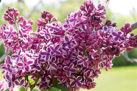 small lilac bush varieties 18 lilac varieties hgtv