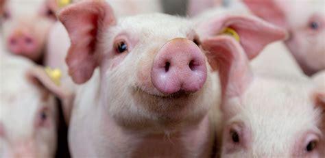 swine merck animal health