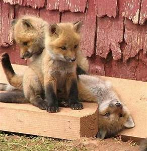 Baby foxes playing | Cute :) | Pinterest
