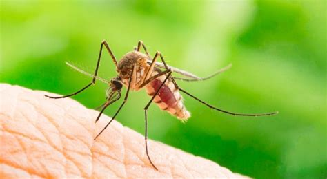 proven ways    rid  mosquitoes   house