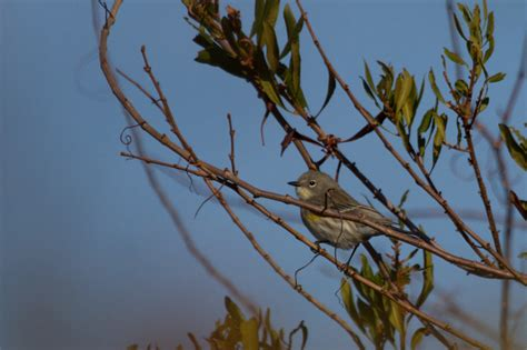 bill hubick photography yellow rumped warbler dendroica