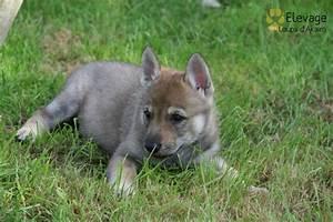 Bébé Loup Blanc : chien loup blanc yeux bleu chaton chien donner ~ Farleysfitness.com Idées de Décoration
