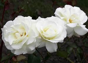 Alte Rosensorten Stark Duftend : 39 evening star 39 edelrose mit reinwei en bl ten stark ~ Michelbontemps.com Haus und Dekorationen