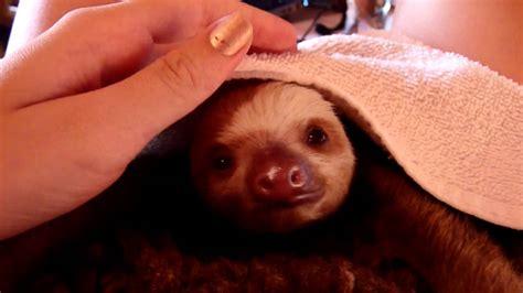 baby sloth yawning youtube