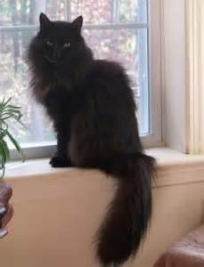cat finders blog archive lost black cat merrimack nh